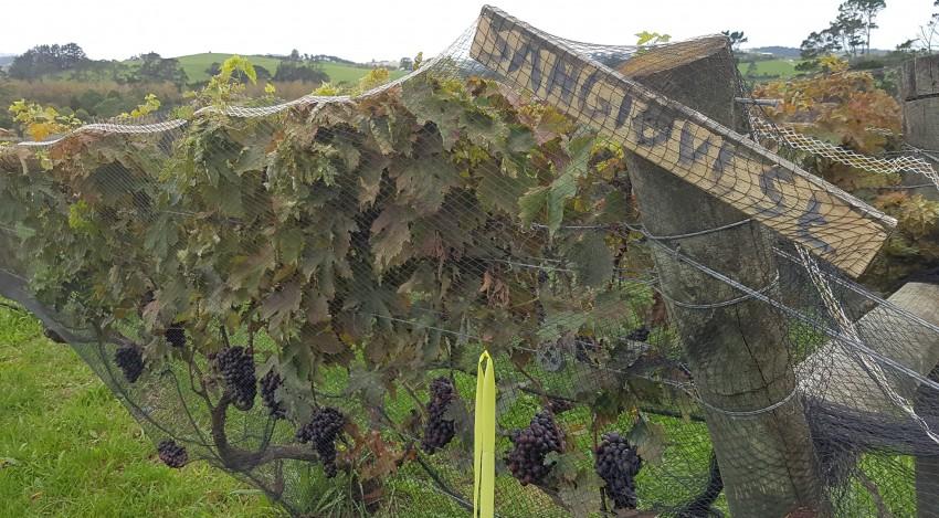 Italian vines in New Zealand