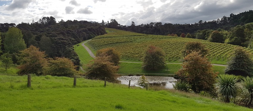 Rolling hills and vines at BrickBay